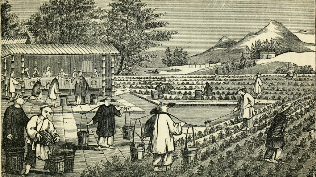 An illustration from a book published in 1851 depicts the cultivation of tea in China. In the mid-19th century, China controlled the world's tea production. That soon changed, thanks to a botanist with a penchant for espionage